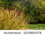 yellow bush in summer... | Shutterstock . vector #1019881978