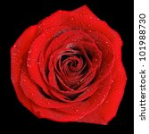 A Red Rose With Dew Isolated O...