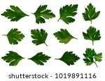 fresh green parsley leaves herb ... | Shutterstock . vector #1019891116