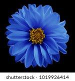 dahlia  blue flower  on the... | Shutterstock . vector #1019926414
