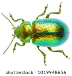 Leaf beetle chrysolina graminis ...