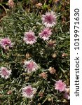 Small photo of bachelor button,knapweed,Multicolored bachelor button flowers in