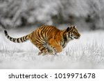 siberian tiger  panthera tigris ... | Shutterstock . vector #1019971678