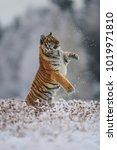 siberian tiger  panthera tigris ... | Shutterstock . vector #1019971810