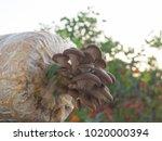 closeup fresh oyster mushroom ... | Shutterstock . vector #1020000394