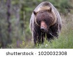 grizzly bear foraging for...   Shutterstock . vector #1020032308