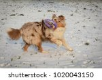 Small photo of Red merle australian shepherd puppy playing in the snow with dog toy puller.