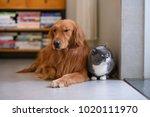 golden retriever and cat | Shutterstock . vector #1020111970