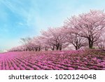 cherry blossom and blue sky in... | Shutterstock . vector #1020124048