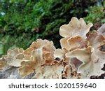 Forest Mushrooms On Tree Stump...