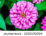 close up zinnia flower | Shutterstock . vector #1020192034