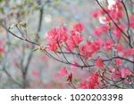 azaleas flowering shrubs in the ... | Shutterstock . vector #1020203398