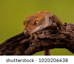 Crested Gecko Macro Portrait