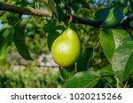 ripe pears on tree branch....   Shutterstock . vector #1020215266