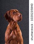 vizsla studio headshot portrait ... | Shutterstock . vector #1020235840