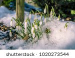 blossoming snowdrop covered...   Shutterstock . vector #1020273544