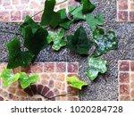 powdery mildew disease of ivy