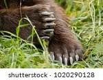a brown or grizzly bear paws.... | Shutterstock . vector #1020290128