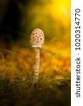mushrooms in epic warm light in ... | Shutterstock . vector #1020314770