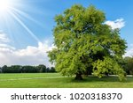 large oak tree with green... | Shutterstock . vector #1020318370