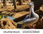 Big Pelican Resting On The Rocks