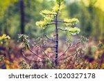 dutch myrtle  labrador tea ... | Shutterstock . vector #1020327178