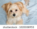 sweet morkie puppy looking... | Shutterstock . vector #1020338953