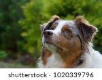 australian shepherd dog... | Shutterstock . vector #1020339796