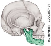 the mandible bone of the... | Shutterstock . vector #1020357439