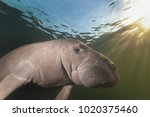 manatee photographed at... | Shutterstock . vector #1020375460