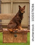 Small photo of Dog on the Tucker Box - Australian Kelpie working dog breed sitting on old chest.