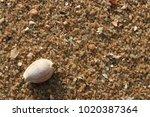 fossil shell on the sand beach  ... | Shutterstock . vector #1020387364