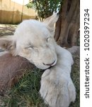 White Lion Puppy Or Cub With...