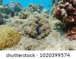 bivalve mollusk maxima clam ... | Shutterstock . vector #1020399574