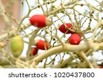 Small photo of Ornament tree: Fruits of Adonidia or Manila palm or Christmas palm.