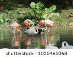pink big bird greater flamingo  ...   Shutterstock . vector #1020461068