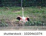 pink big bird greater flamingo  ...   Shutterstock . vector #1020461074