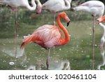 pink big bird greater flamingo  ...   Shutterstock . vector #1020461104