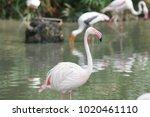 pink big bird greater flamingo  ...   Shutterstock . vector #1020461110