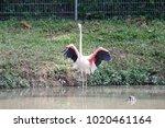 pink big bird greater flamingo  ...   Shutterstock . vector #1020461164