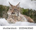 baby lynx. lynx live in dense...   Shutterstock . vector #1020463060