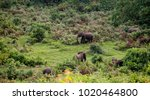 herd of wild forest elephants... | Shutterstock . vector #1020464800