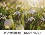 spring flowers in morning light | Shutterstock . vector #1020475714