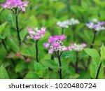 purple flowers growing.   Shutterstock . vector #1020480724