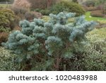 Small photo of Abies concolor 'Compacta' (Compact White Pine) in a Country Cottage Garden in Rural West Sussex, England, UK