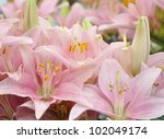 Background Of Fresh Pink Lilies - stock photo