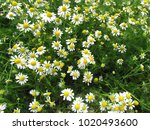 wild daisy like plants growing...   Shutterstock . vector #1020493600