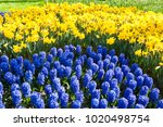 blooming blue hyacinth and... | Shutterstock . vector #1020498754