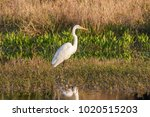 White Egret On The Edge Of The...