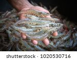 white shrimp in the hands on a... | Shutterstock . vector #1020530716